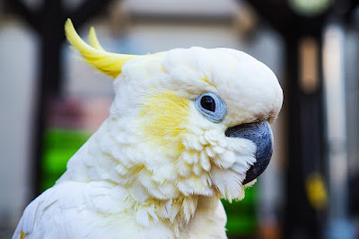 How to breed Cockatoo birds?