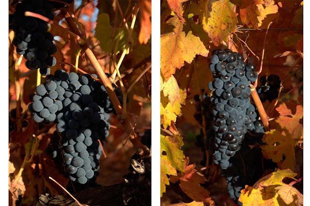 wine harvest festival autumn fall leaves grapes