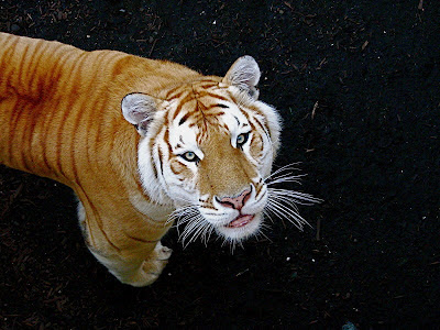 Color Variation of Tiger - SNSH
