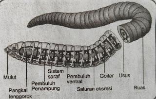 organ pernapasan cacing