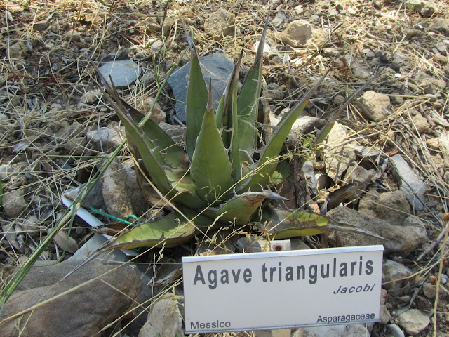 Agave triangularis
