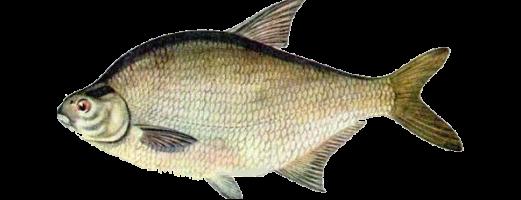 Виды речных и озерных рыб (Лещ)