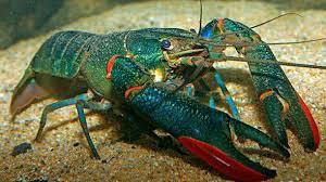 Pengenalan Lobster Air Tawar Sebagai Hobi dan Pendapatan Sampingan | Lobster Air Tawar (LAT) pada asalnya sekadar udang air tawar yang di bawa masuk ke Malaysia sebagai udang hiasan sahaja kerana warna yang menarik dan mudah untuk di pelihara di dalam akurium di rumah-rumah. Tetapi pada 2013 ada di kalangan rakyat Malaysia telah mengusahakan perternakan LAT ini secara besar-besaran untuk pasaran tempatan.   Pengenalan Lobster Air Tawar  LAT ini berasal daripada negara Australia dan Papua New Guinea dan dikenali sebagai Redclaw atau Crayfish. Rasa isi LAT hampir sama dengan lobster laut dan dikatanya rendah kolestrol.  Harga yang di tawarkan untuk setiap kilogram (KG) juga cukup lumayan mengikut saiz LAT. Ini kerana semakin besar LAT semakin mahal harganya kerana isi LAT lebih sedap berbanding dengan udang yang di pasaran hari ini. Pengenalan Lobster Air Tawar Sebagai Hobi dan Pendapatan Sampingan  AM juga sudah lama menginai peluang untuk membela LAT ini sendiri sebagai hobi disamping untuk belajar cara-cara menternak LAT juga. Mungkin suatu hari nanti AM akan menternak secara serius jika di beri peluang dan ruang. Sekarang AM sekadar membela LAT sebagai hobi sahaja.  Belajar dan Mengkaji Membela Lobster Air Tawar (LAT)  Sejujurnya sudah lama AM elajar untuk membela LAT ini, mungkin dari awal tahun 2019 lagi apabila kekawan AM mula bercerita mengenai LAT ini kerana harga pasaran yang di tawarkan cukup lumayan jika berjaya menternak.  Sejak itu, AM mula mengkaji dengan mencari maklumat asas mengenai LAT ini seperti  Perbezaan jantinan LAT Suhu air untuk LAT Pemakanan untuk LAT Tempat persembunyian untuk LAT  Dan banyak lagi yang perlu di kaji sebelum AM betul-betul yakin untuk membela LAT di rumah sendiri. Sebelum itu pun, AM akan juga membela ikan kelisa di rumah sebagai hobi dan teman di kala memerlukan ketenangan. Bunyi air yang mengalir pun boleh di jadikan terapi diri apabila tertekan dengan urusan kerja. Pengenalan Lobster Air Tawar Sebagai Hobi dan Pendapatan 