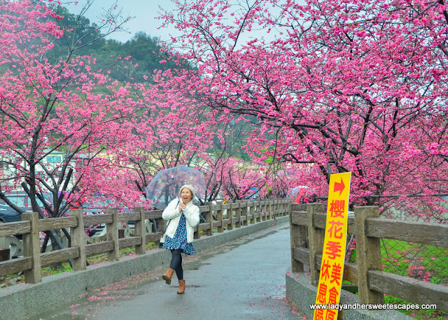 cherry blossoms in Taian Police Station in Taiwan