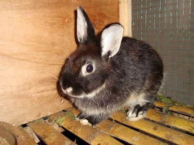 kelinci yang menang kategori mini