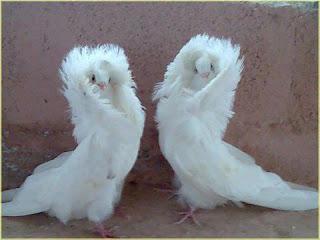 A foto retrata em um canto murado, um casal de pombos, um de frente para o outro, com as cabeças direcionadas para a câmera. As aves da espécie Capuccino (popularmente conhecida como pombo Peruca) têm a penugem branca e abundante, destacam-se pela exuberante plumagem ao redor do pescoço formando um cachecol natural de plumas, e acima da cabeça formam um adereço em forma de arco como um cocar saliente, onde a cabeça encaixa-se. A cauda é longa, volumosa e remete a um longo véu de noiva.