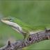 Biologists discover how lizards breathe underwater/ जीवविज्ञानी ने पता लगाया कि छिपकली पानी के भीतर कैसे सांस लेती हैं
