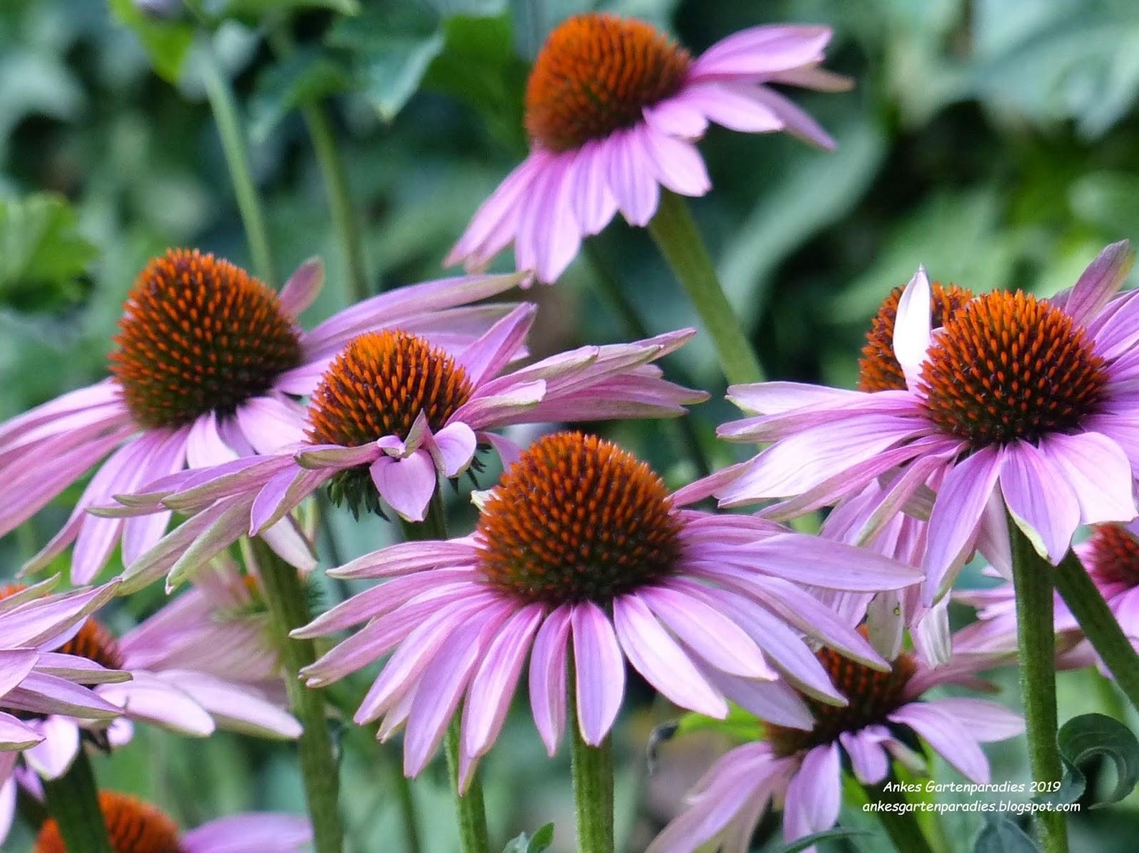 eine wunderschöne Blume Sonnenhut bzw Echinacea