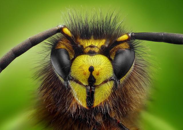 Ong bắp cày khổng lồ Nhật Bản