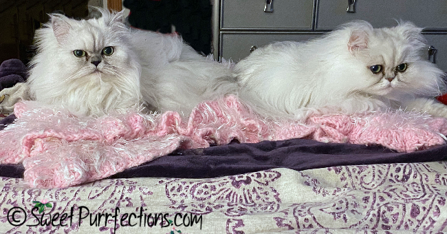 two silver shaded persian cats, Truffle and Brulee, laying on the bed facing forward