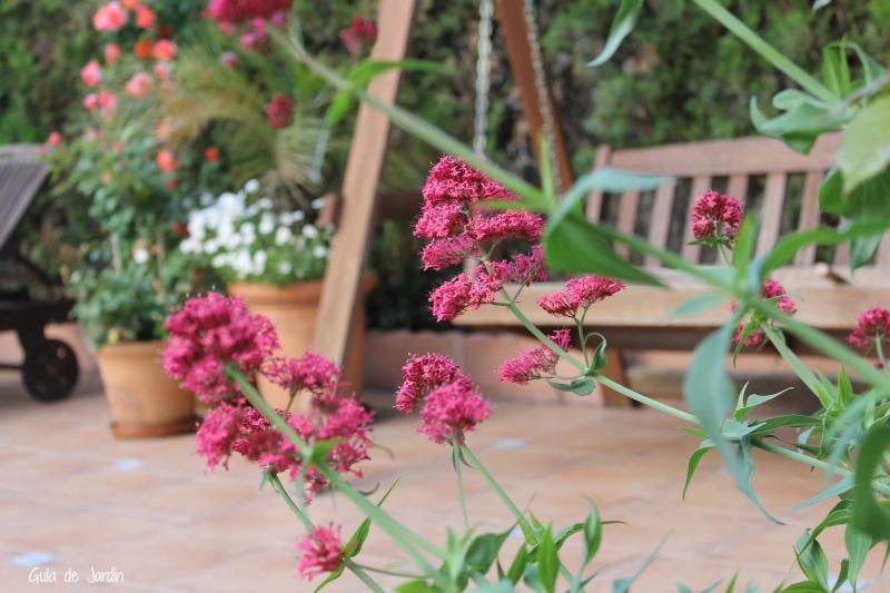 Valeriana roja. Al fondo rosales y margaritas.