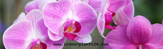 CATTLEYA indoor plant picture