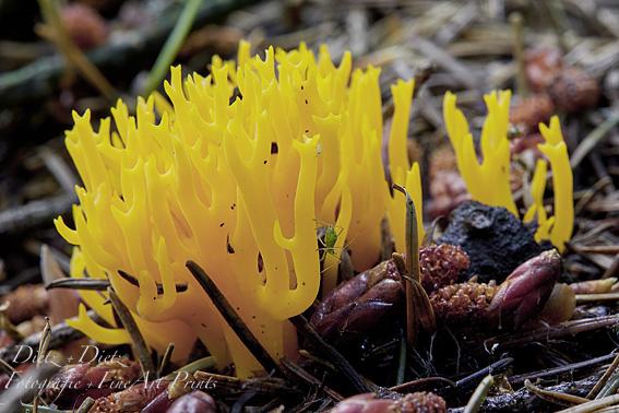 Klebriger Hörnling (Calocera viscosa) mit Blattlaus