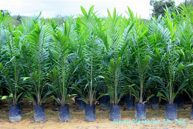 Mengenal Jenis-jenis Tanaman Kelapa Sawit dan Varietasnya