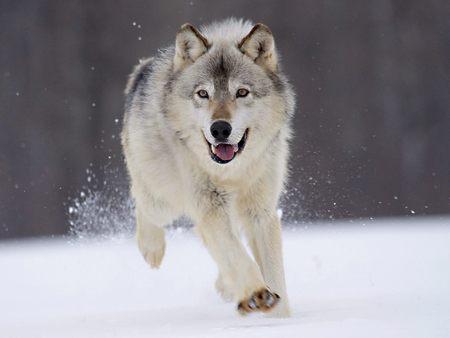 Serigala yang Dipenjara