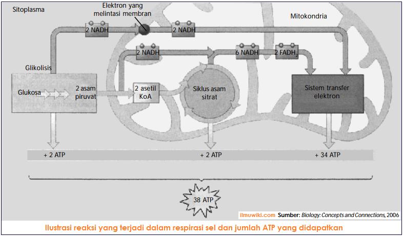 Ilustrasi reaksi yang terjadi dalam respirasi aerob dan jumlah ATP yang didapatkan