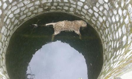 कुएं में तैरता मिला तेंदुए का शव