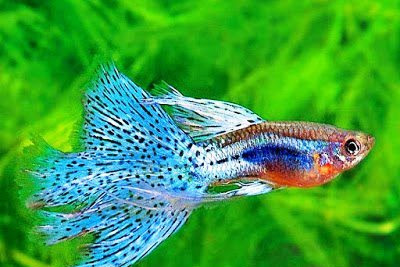 Inilah Daftar Makanan Ikan Guppy Supaya Cepat Besar