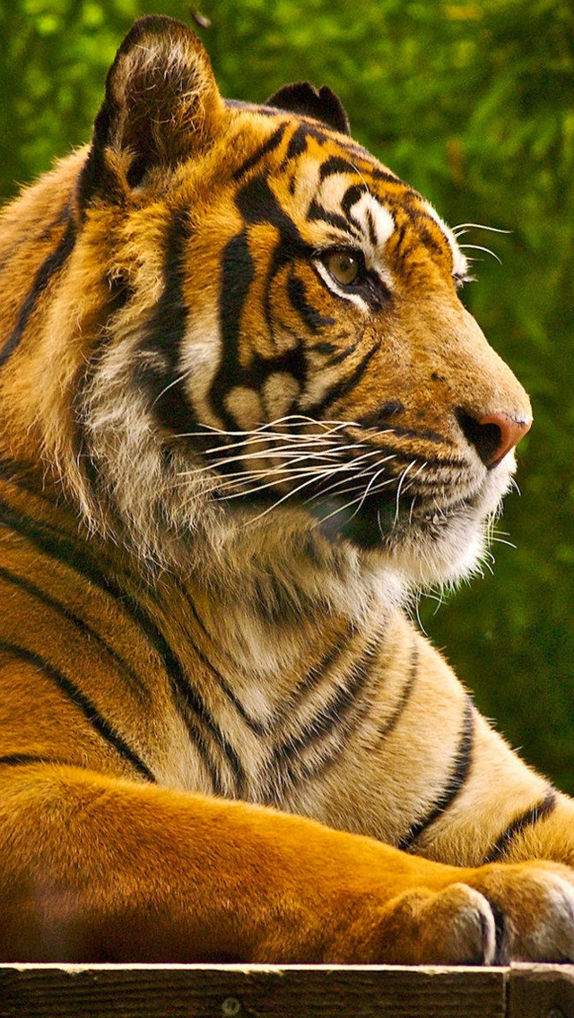 Wallpaper Collection For Android Phone Ferocious Animal Tiger