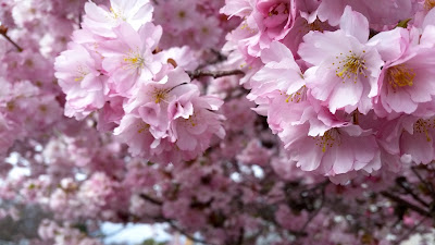 Cherry Blossoms up close