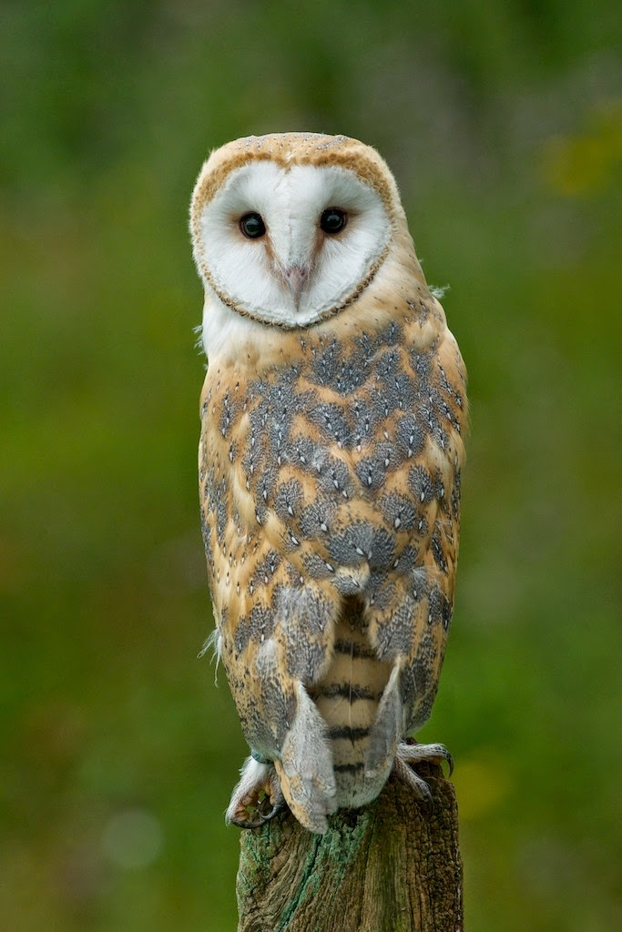 Matt's Photos: Barn Owl
