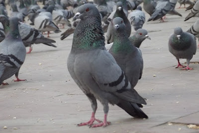 pigeons feeding at amer fort jaipur
