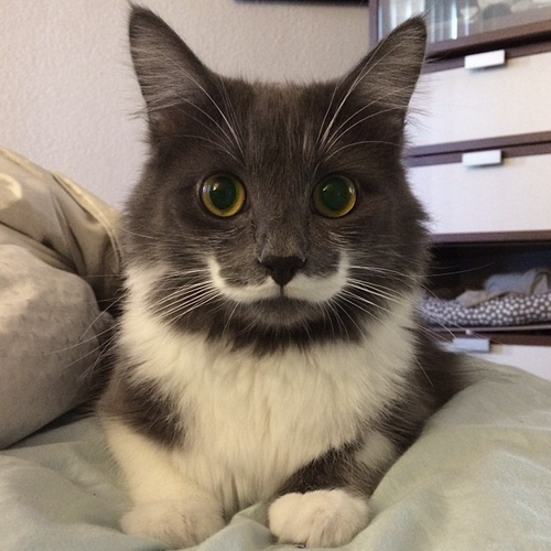 'Hamilton', the hipster Cat who sports a rather majestic curly white mustache