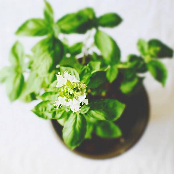 Basil is one of the oldest herbs known to mankind and it has amazing health benefits. Grow Basil indoors or outdoors!