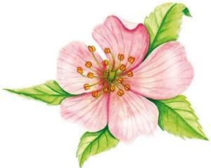 Rosa-mosqueta,  nome científico: Rosa canina
