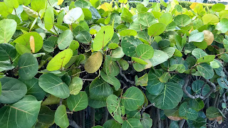 Coccoloba uvifera (Sea grape) tree south central america caribbean bahamas tree shrub fruit wide leaves