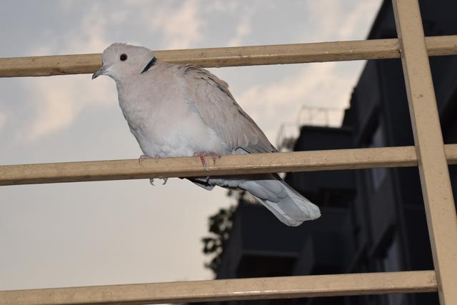 Eurasian collared dove | 10 High quality pictures