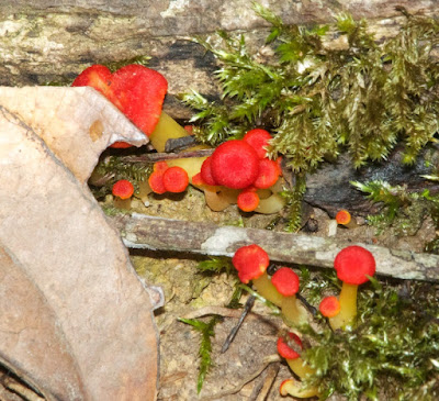 Wax-cap (Hygrocybe sp)