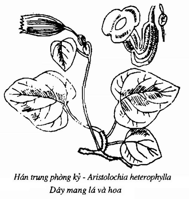 Hình vẽ Hán trung phòng kỷ - Aristolochia heterophylla - Nguyên liệu làm thuốc Chữa Tê Thấp và Đau Nhức