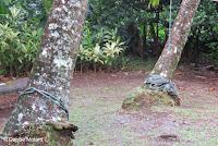 Palm tree ties - Lyon Arboretum, Manoa Valley, Oahu, HI