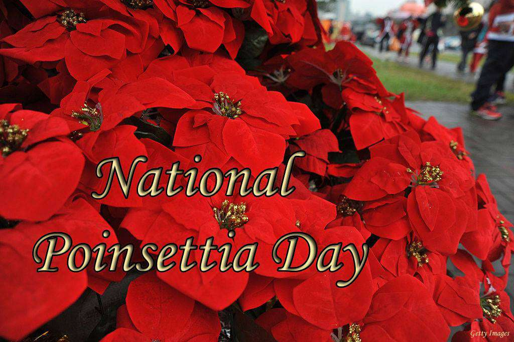 National Poinsettia Day Wishes Photos