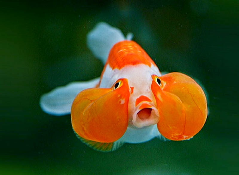 Fun Animals Wiki Videos Pictures Stories Funny Goldfish Bubble Eye