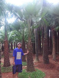 harga jual palm moreli murah