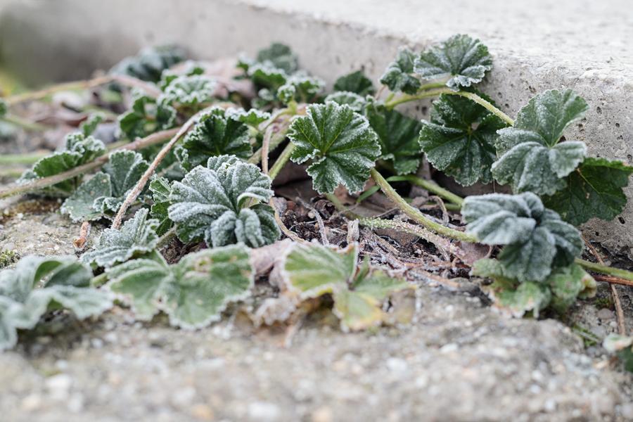 Vegetación cubierta con escarcha