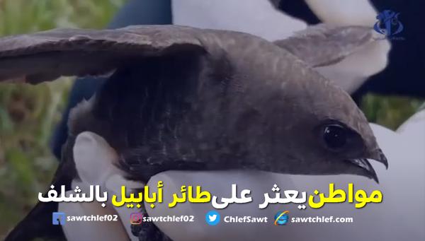 بالفيديو .. مواطن يعثر على طائر أبابيل بالشلف