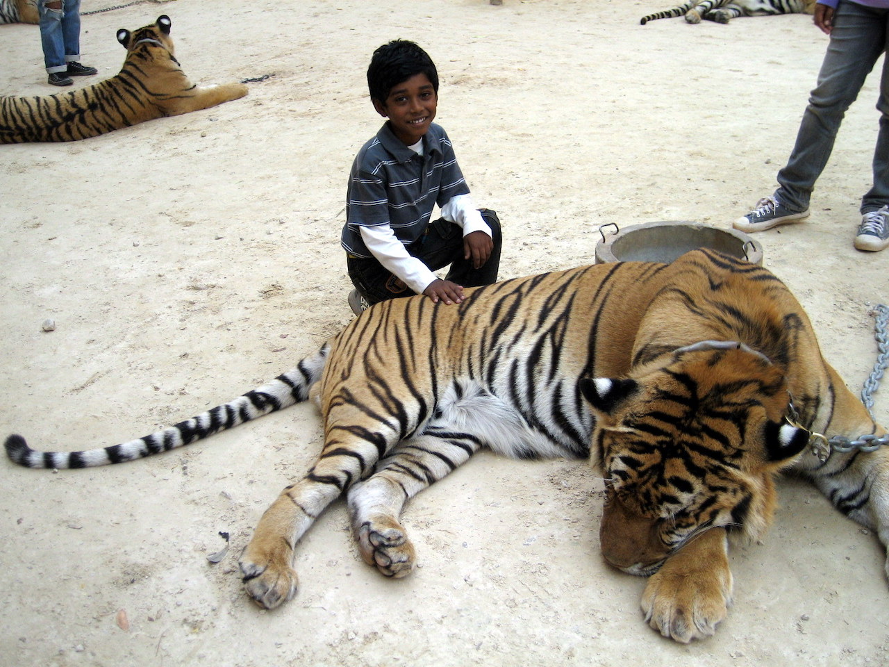 Young kid with the Tiger in Thailand