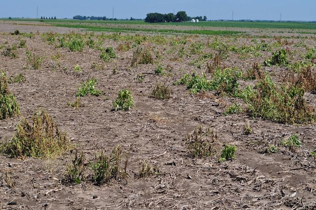 fallow syndrome corn field Minnesota