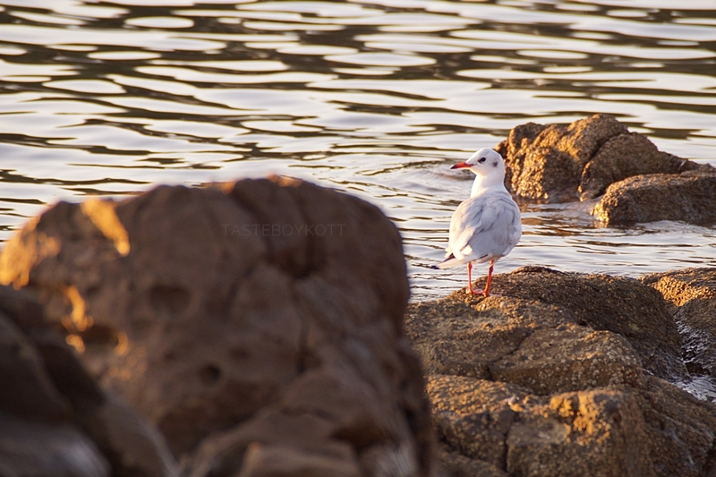 Möwe in Kroatien [Felsen, Meer, Strand, Sonnenuntergang, Sonne, Abend, Sommer]