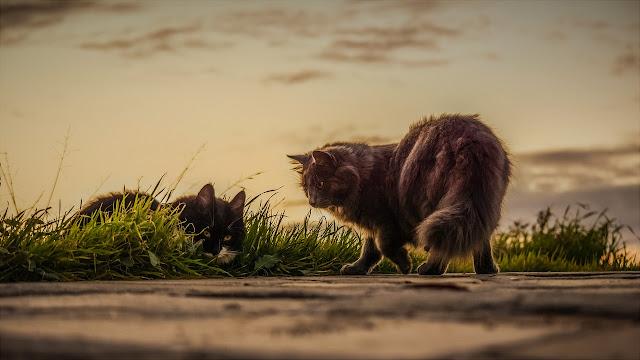 Sejarah kucing anggora