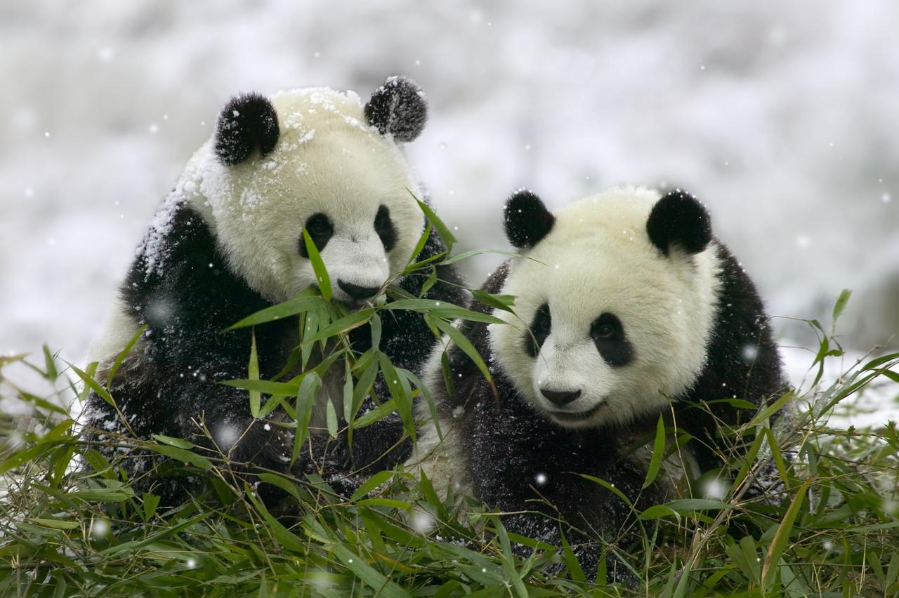Panda De