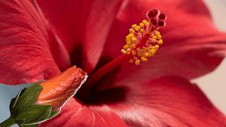 Faits nutritionnels de l'hibiscus
