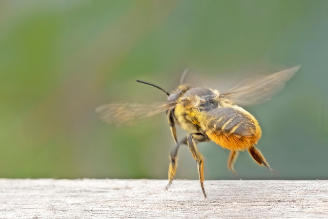 A bee from the left rear, just taking off, apparently hovering an eighth of an inch off the counter