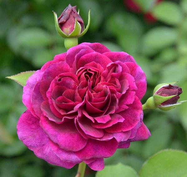 Tradescant роза фото