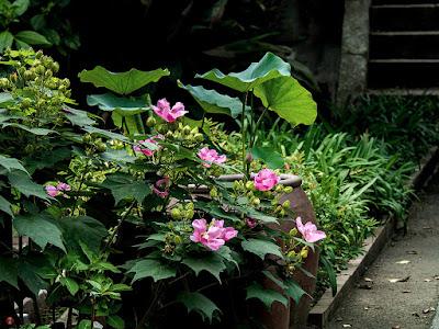 Fuyo (Hibiscus mutabilis) flowers: Eisho-ji