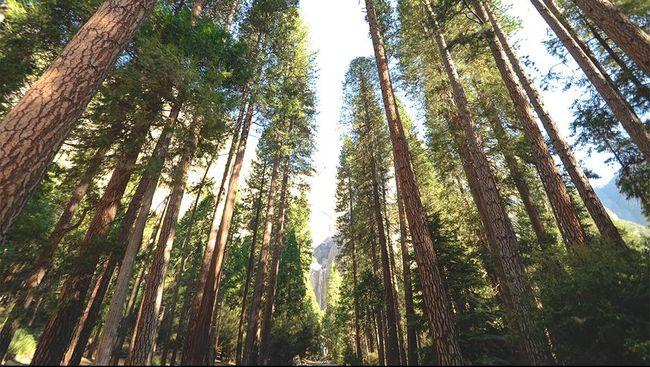 Hanya Karena Ambil Sebatang Pohon, Pria di Jambi Didenda Seekor Kerbau