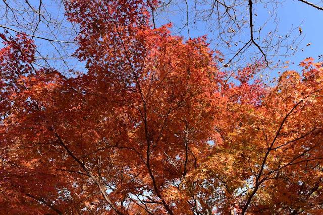 桜山公園の紅葉5